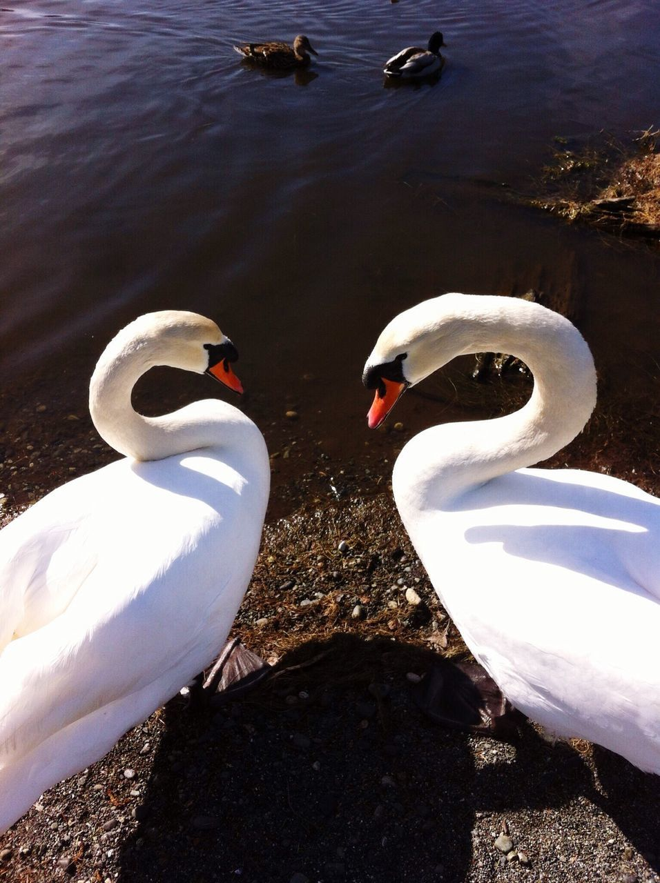 High Angle View Of Mute Swans In Lakeshore