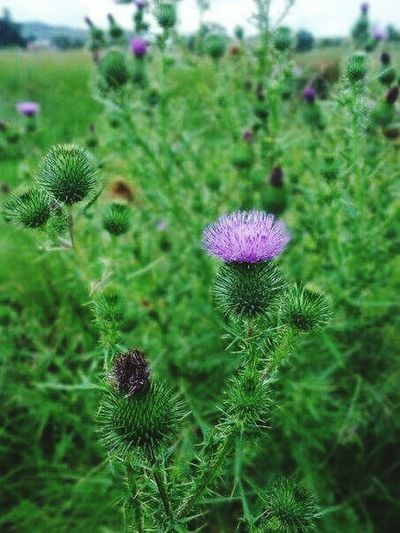 thistle Scotland Flower Scenics Animal Themes Nature Beauty In Nature Flower Nature Purple Plant Green Color Growth Beauty In Nature Uncultivated Outdoors Focus On Foreground Freshness Day Thistle No People Field Fragility Flower Head Close-up