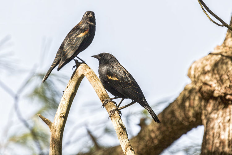 Red-winged blackbirds perched in a tree. Agelayus Phoeniceu Animal Themes Animal Wildlife Animals In The Wild Avian Beauty In Nature Bird Branch Day Focus On Foreground Nature No People Outdoors Perching Red-winged Blackbird Tree