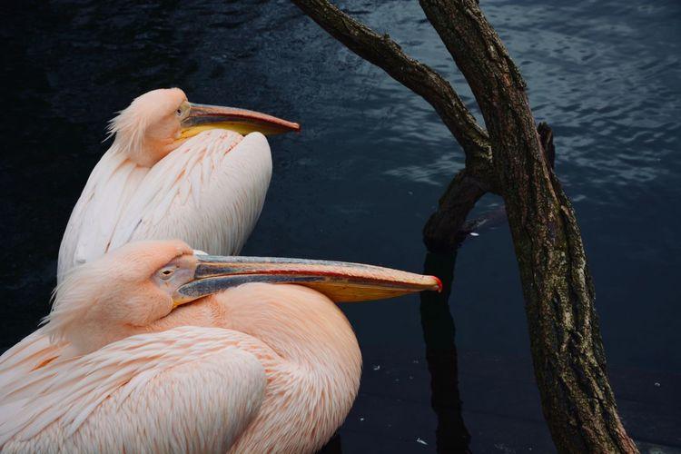 Pelican Animal