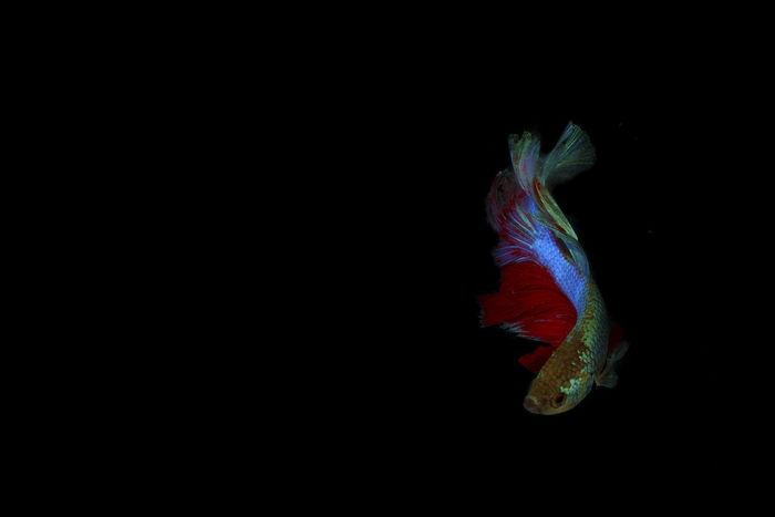 Siamese fighting half moon Betta fish Animal Animal Themes Animal Wildlife Animals In The Wild Black Background Close-up Copy Space Fish Indoors  Marine Nature No People One Animal Sea Studio Shot Swimming Underwater Vertebrate Water