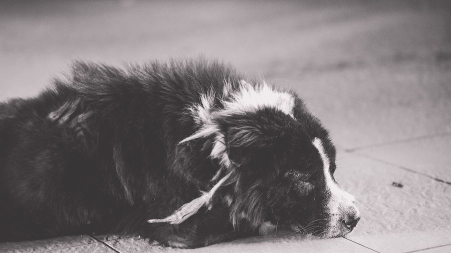 Dog-tired. Animal Head  Black Color Canine Close-up Day Dog Dog-tired Domestic Animals Focus On Foreground Lying Down Mammal No People Pets Relaxation Resting