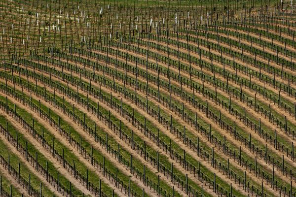 A landscape of staked vines waiting for spring in the vineyards of the Barossa Valley South Australia Australian Landscape Barossa Valley Rural Scenes Travel Photography Abundance Agriculture Beauty In Nature Crop  Cultivated Land Day Farm Field Growth In A Row Landscape Nature No People Outdoors Pattern Rural Scene Scenics Terraced Field Tranquility Vineyard Winter Vines