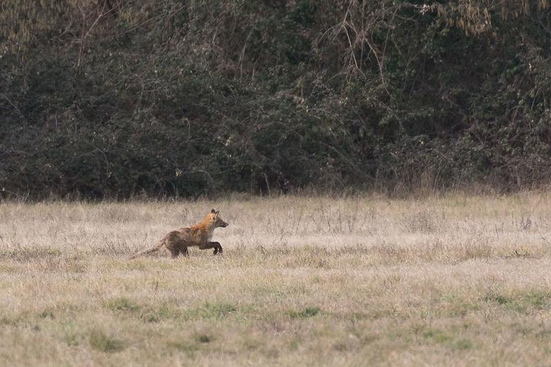 A fox running