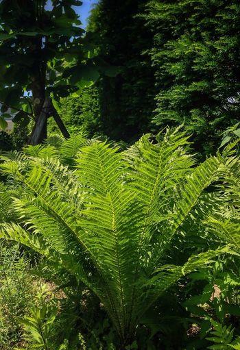 Matteuccia in Mt.Hiei garden museum Ferns EyeEm Nature Lover Nature_collection Green