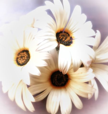Daisies EyeEmNewHere Gerbera Daisy Bouquet San Luis Obispo Happiness My Favorite Flower Daisy Flower Petal Flower Head White Color No People Freshness Nature Plant Close-up Outdoors Beauty In Nature Growth Pollen