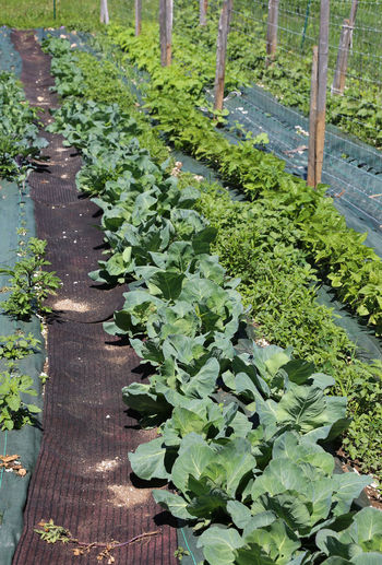 large vegetable garden with cabbages and beans in the cultivated field in the mountains Agriculture Beans Agriculture Bean Plant Cabbage Cabbages Cultivated Cultivated Field Freshness Garden Growth Outdoors Paving Stone Plant Vegetable Vegetable Garden Vegetables