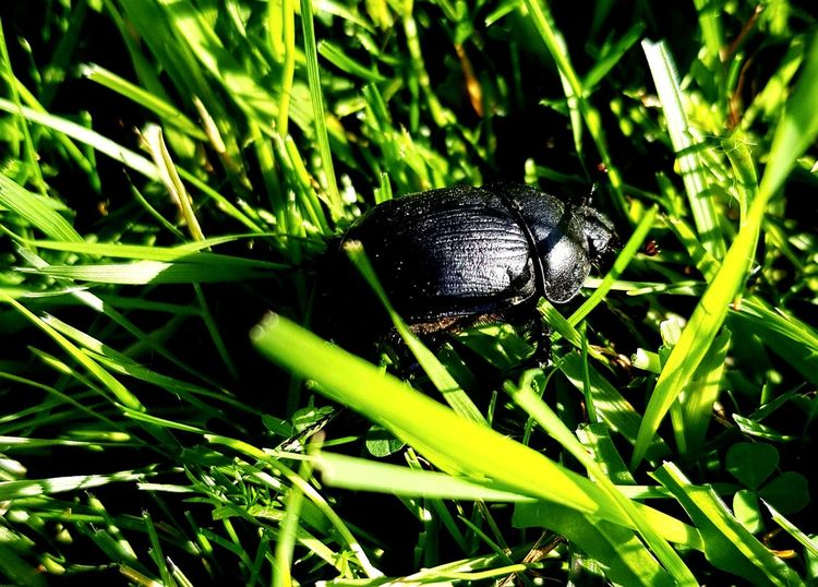 Insect Black Color Close-up Animal Themes Grass Plant Green Color Beetle