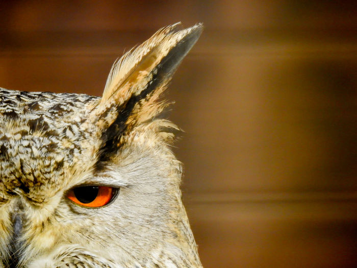 Eagle Owl  Nikon Photography Nikon P900 Animal Animal Body Part Animal Eye Animal Head  Animal Themes Animal Wildlife Animals In The Wild Beak Beautiful Eyes Bird Close-up Eagleowl Eye Eyebrow Focus On Foreground No People One Animal Outdoors Owl Portrait
