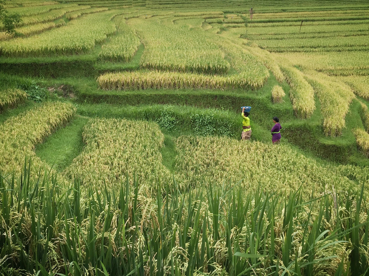 High angle view of women walking on rice field