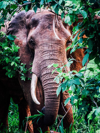 Animal Head  Close-up Day Elephant Focus On Foreground Green Color Growth Leaf Mammal Nature No People Outdoors Plant Wildlife Wildlife & Nature Wildlife Photography Wildlife Photos Wildlifephotography The Traveler - 2018 EyeEm Awards