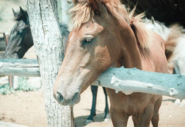 35mm 35mm Camera 35mm Film Animal Animal Head  Animal Themes Brown Film Film Photography Filmcamera Fresh Horse Nature Outdoors Portrait Summer Summertime Wild Zenit