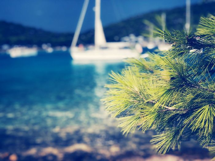 Maritime pines