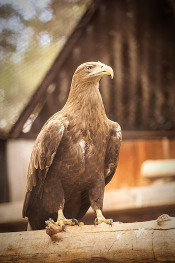 Eagle perching on bamboo in zoo