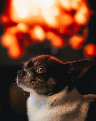 EyeEm Best Shots EyeEm Nature Lover EyeEm Gallery EyeEm Best Edits Dogs Of EyeEm Colourful Fire Warmth Pets Dog Close-up Chihuahua - Dog Small Chihuahua Puppy