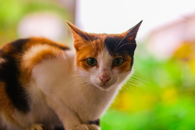 Pet Portraits EyeEm Selects Cats Of EyeEm Cat Lovers Catoftheday Catlover Catsofinstagram Kitten 🐱 Canonphotography Canon750D Canon_india Canon_photos Portrait Kittenoftheday Kitteh Feline Lightroom 5  First Eyeem Photo