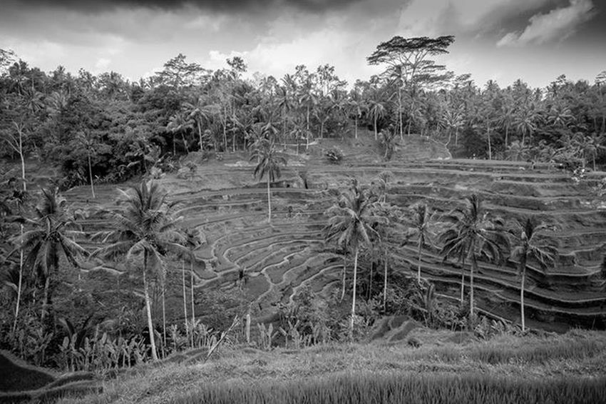 RePicture Travel Bali Blackandwhite Rice Field