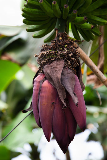 unripe bananas on a tree Plant Focus On Foreground Close-up No People Plant Part Growth Nature Leaf Flowering Plant Banana Banana Tree Flower Head Tree
