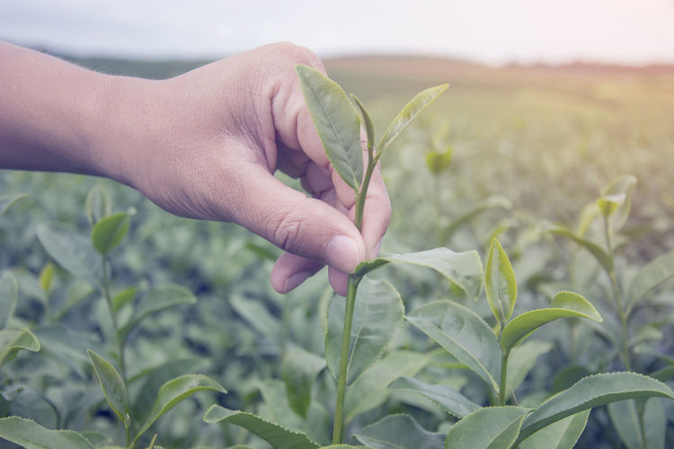 Close up of Asian man hand picking the leaves tea at tea plantation, harvesting health product Green Leaves🌿 Agriculture Crop  Day Farm Field Finger Growth Hand Harvesting Healthy Holding Leaf Nature One Person Picking Plant Plant Part Product Tea Plantation