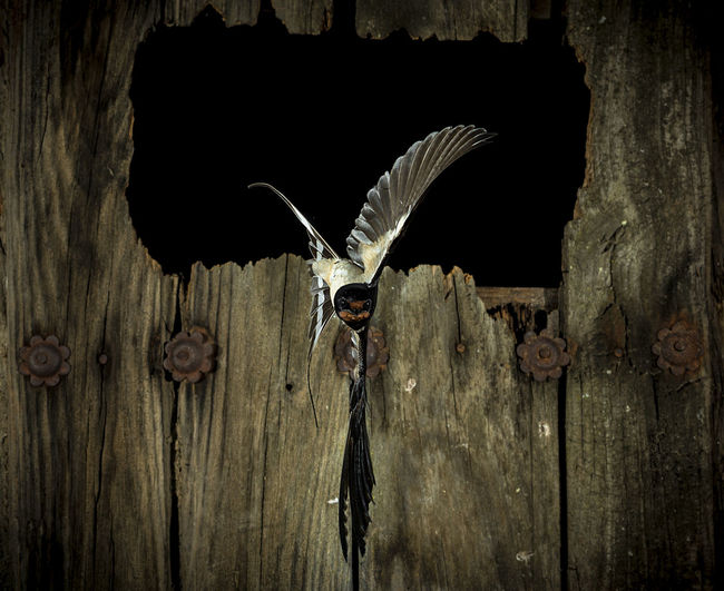 Animal Wildlife Close-up Door Entrance Front View Fun Indoors  Looking At Camera Metal No People One Animal Portrait Protection Safety Security Swallow Swallow In Flight Wood - Material