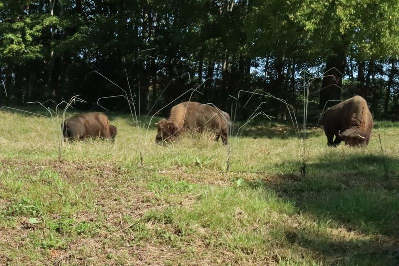 American Bison Grazing Zoo Photography  Bison Group Plant Animal Themes Mammal Group Of Animals Animal Tree Vertebrate Land Field Grass Animal Wildlife Nature No People Day