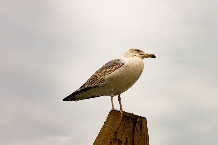 seagull Bird Animal Themes Animal Vertebrate Animal Wildlife Perching Animals In The Wild One Animal Wood - Material Sky Focus On Foreground No People Nature Post Day Full Length Wooden Post Seagull Low Angle View Outdoors