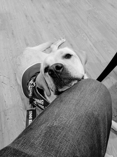 EyeEm Selects Dog Pets One Animal Domestic Animals Animal Themes Mammal No People Day Indoors  Close-up Ptsd Assistance Dog Working
