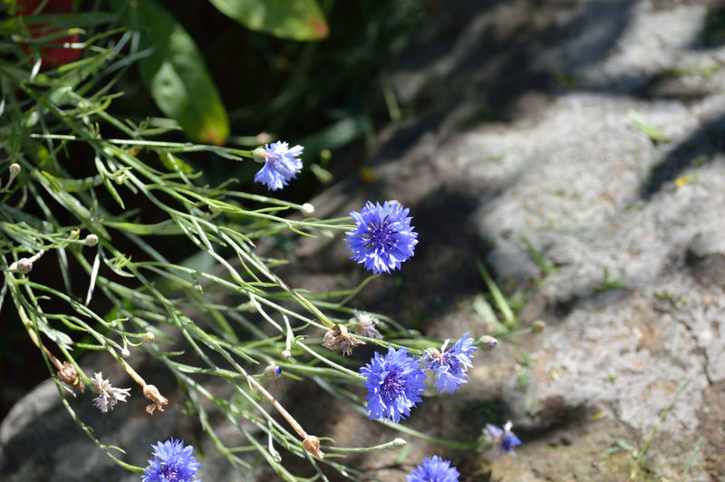 Beauty In Nature Blooming Blossom Blue Botany Close-up Day Flower Flower Head Focus On Foreground Fragility Freshness Green Color Growth In Bloom Nature No People Outdoors Petal Plant Pollen Purple Selective Focus Stem Tranquility