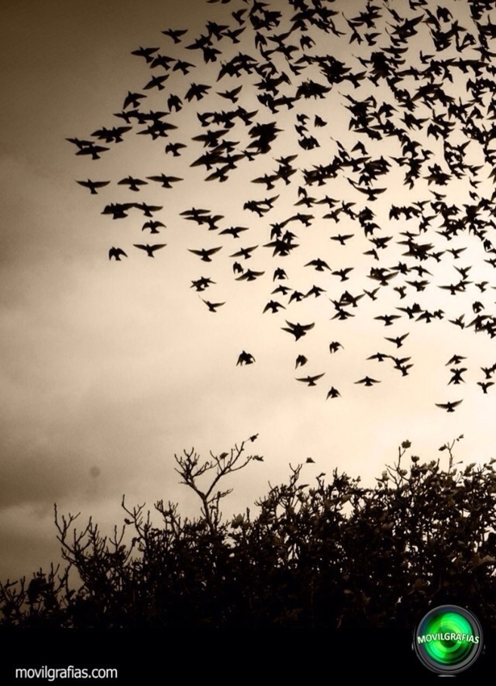 silhouette, low angle view, sky, flying, bird, tree, dusk, nature, cloud - sky, animal themes, sunset, beauty in nature, animals in the wild, outdoors, growth, no people, tranquility, flock of birds, mid-air