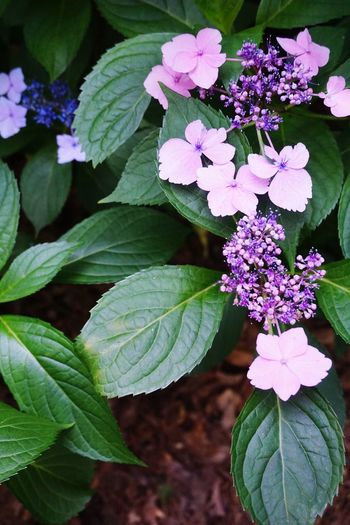 Lacecap hydrangea, violet Leaf Flower Plant Beauty In Nature Freshness Nature Petal Outdoors Day The Great Outdoors - 2017 EyeEm Awards EyeEmNewHere EyeEmNewHere
