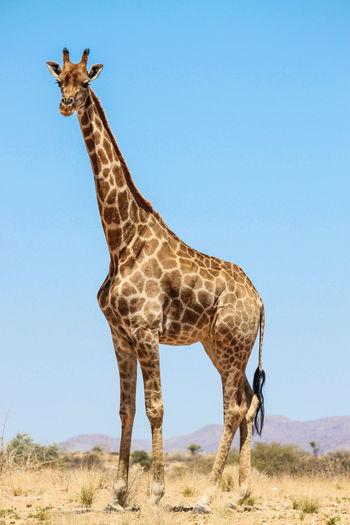 Giraffe on landscape against clear blue sky