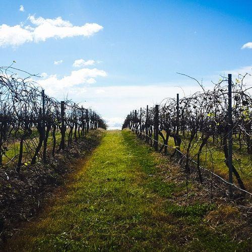 Huntervalley Vinyards Wine Winetasting grapes