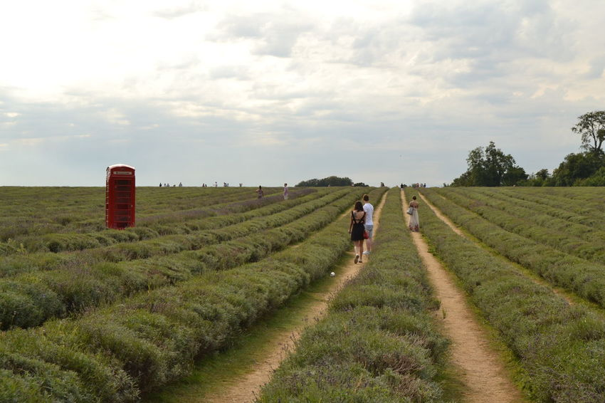 Landscape Lavenderfield London Phone Box Redphonebooth Outdoors Rural Scene Nature English Countryside
