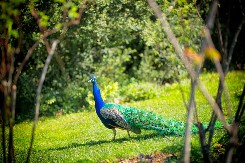 Peacock Capture