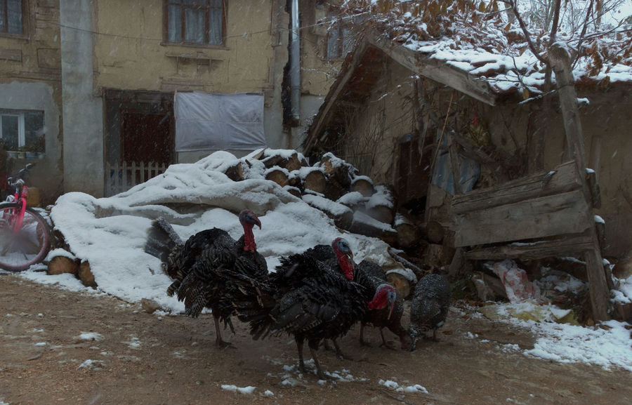 Turkey Run Animal Animal Themes Architecture Bird Birds Chicken - Bird Chirstmas Christmas Dinner Day Domestic Animals Feathers Livestock Mammal No People Poultry Rooster Rural Scene Snow Sünnetköy Thanksgiving Thanksgiving Dinner Turkey Sandwich Turkey ♡ Turkeys Village Life