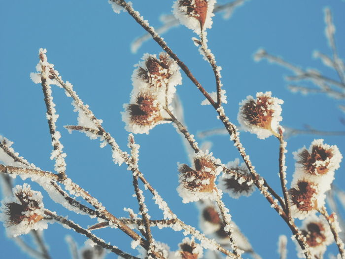 Low angle view of frosted plant against clear blue sky