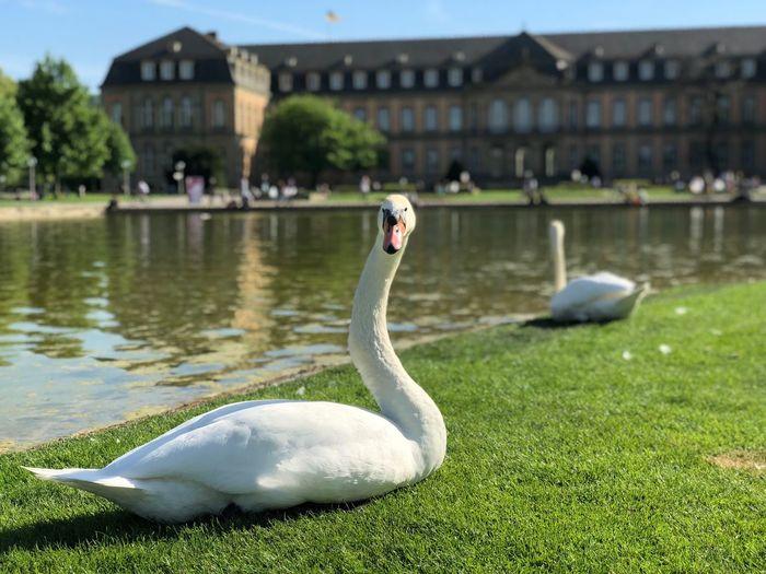 Swan in Stuttgart Dontmesswithme Dontpissmeoff Intelligent Determined Curious Sunny Pond Palace Stuttgart Swan Bird Vertebrate Animals In The Wild Water Animal Themes Animal Animal Wildlife