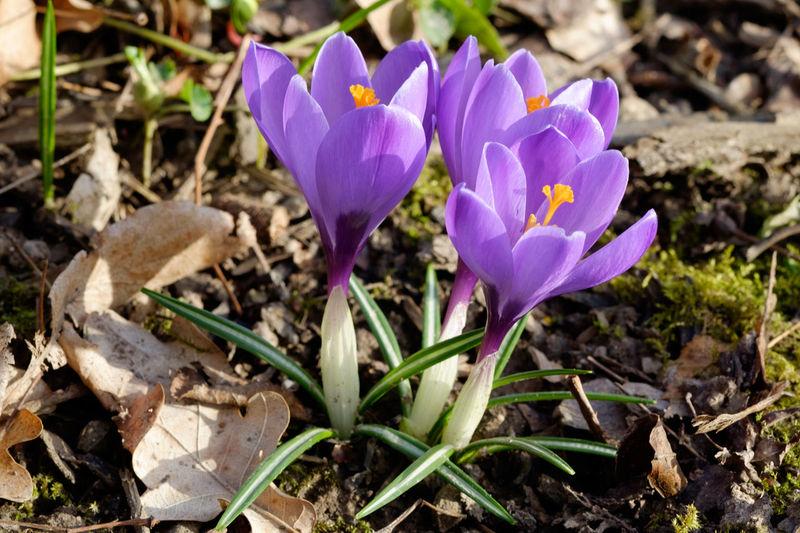 Frühlingskrokuss