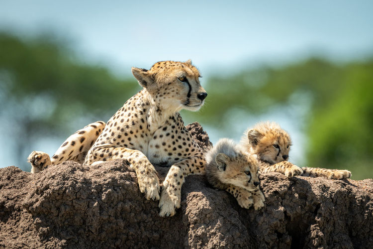 Cheetah with cubs sitting on rock in forest