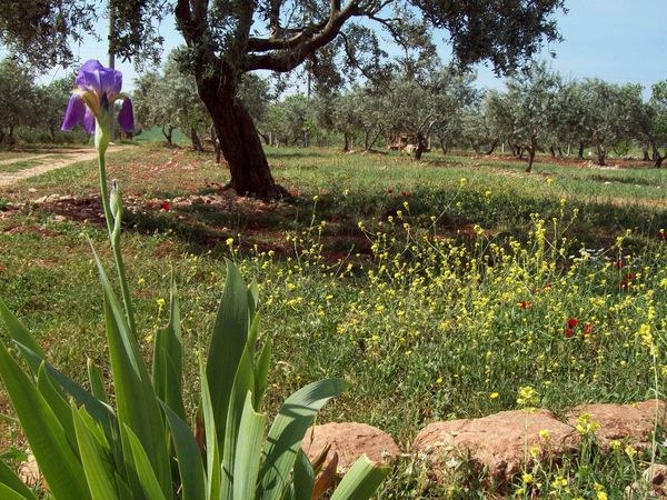 Syria Olive Trees Flower Of Sassoon Sassoon Olive Tree Field Growth Flower Nature Field Outdoors Beauty In Nature Plant Tree Grass