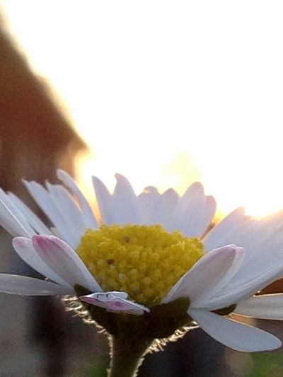 Beauty In Nature Blooming Close-up Elégance Flower Single Flower Sonnenuntergang White Yellow