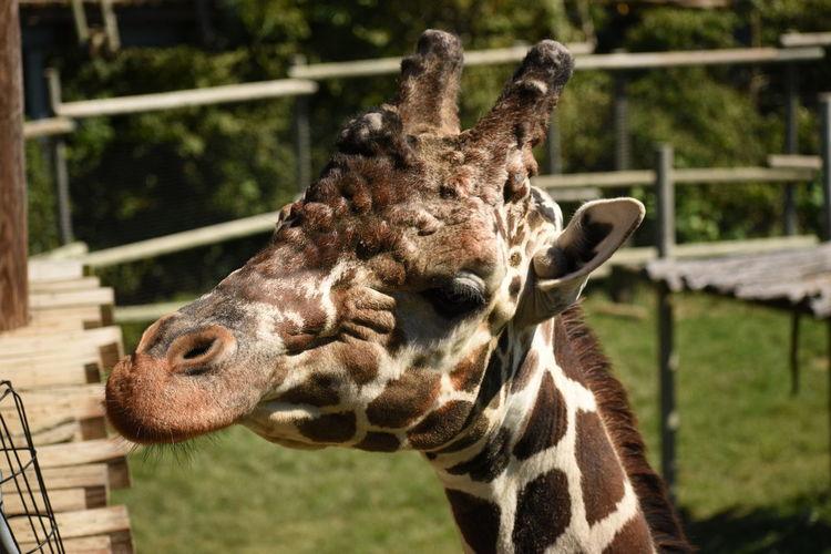 Giraffe waiting