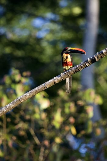 Animal Wildlife Animal Themes Tree Animals In The Wild One Animal Plant Animal Branch Focus On Foreground Nature No People Vertebrate Bird Day Invertebrate Perching Insect Outdoors Selective Focus Close-up Toucan