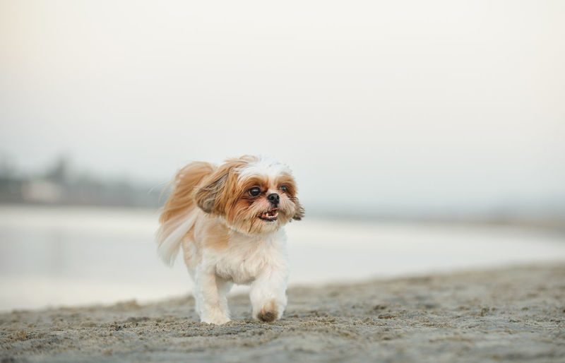 Dog Walking At Beach Against Clear Sky