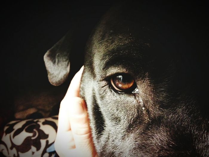 Love Without Boundaries I Love My Pitbull Give Up On Everything Except My Pitbulls I'll  Go Broke Hungry Homeless First Oh Wait I Am ... I Never Gave Up, My Best Photo 2015 My Struggle  My Comeback My Life Pitbull Love Canine Love :) Canine Devotion Dogsofeyeem Brown Eyes EyeEm Ready