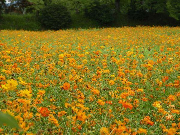 キバナコスモス 奈良 Flower 花