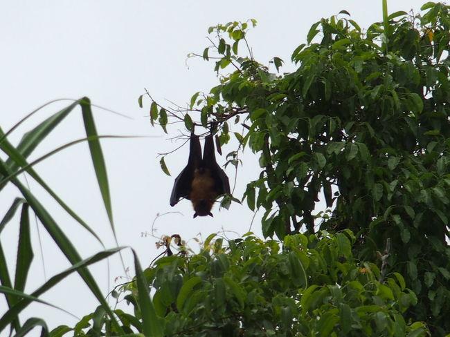 Near Hikkaduwa, sri lanka Animal Themes Animals In The Wild Bat Branch Clear Sky Fruit Bat Green Color Hikkaduwa Leaf Megabat Nature No People One Animal Outdoors Perching Sri Lanka Tree Wildlife Zoology