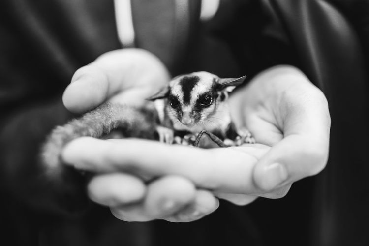Midsection of person holding sugar glider