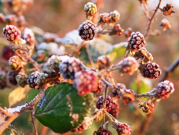 Frozen Berries Winter Nature Beauty In Nature Plant Focus On Foreground Fruit Day Outdoors Freshness Growth