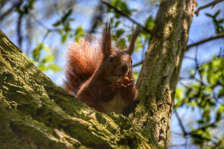 Low angle view of red squirrel holding nut on tree